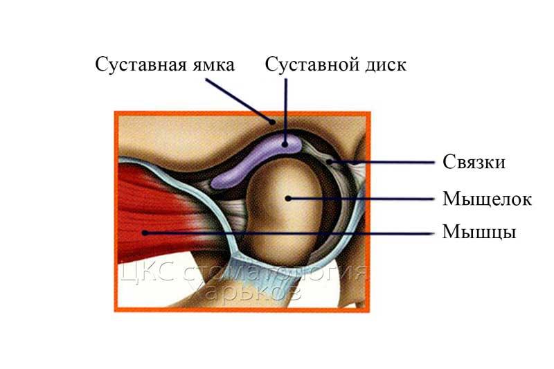анатомиясустава