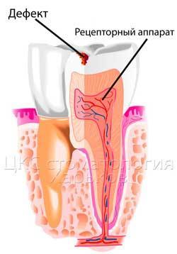 Строение рецепторного аппарата зуба