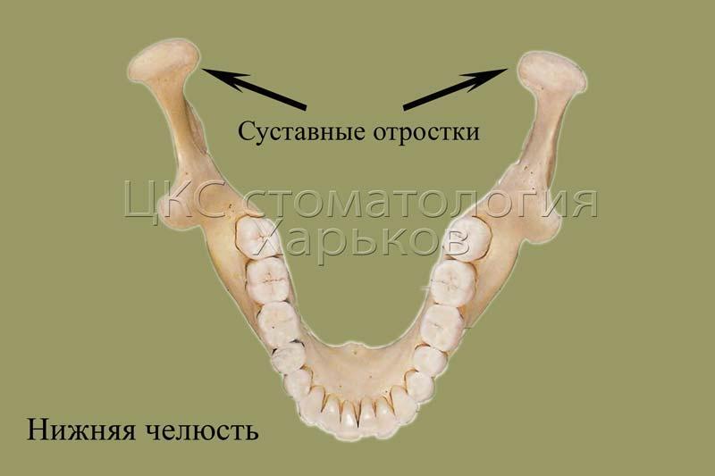 Схема строения нижней челюсти